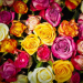 Rose Colour meaning